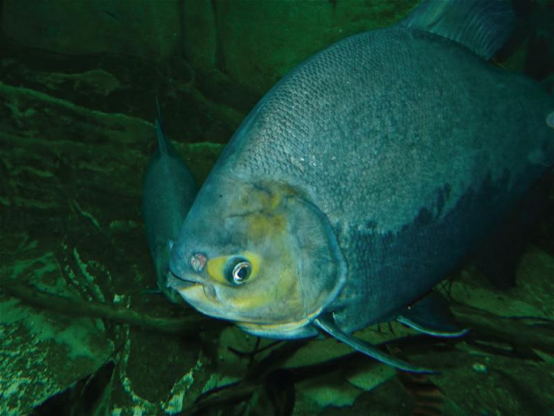 Fisik dari ikan Bawal air tawar (Colossoma macropomum)