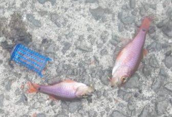 ネンブツダイ(魚の名前)