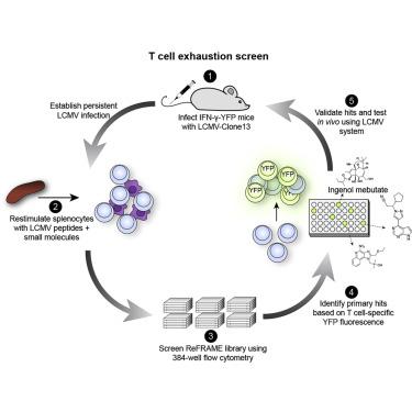 Обнаружены вещества, способные «пробуждать» лимфоциты для борьбы с раком