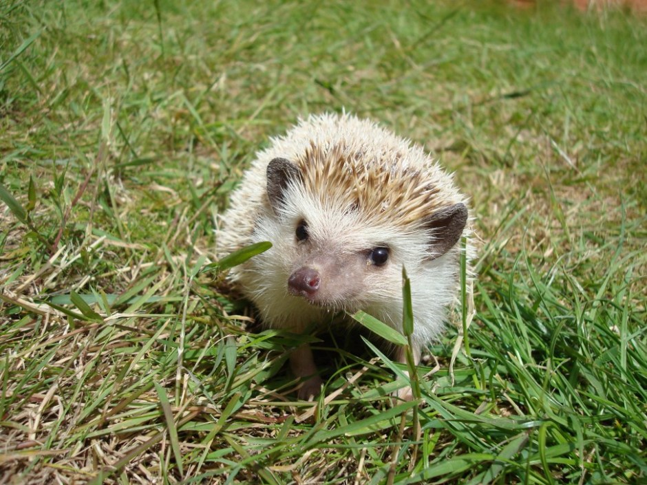 Hedgehog in nature (Source: Flickr CC BY Shirobane)