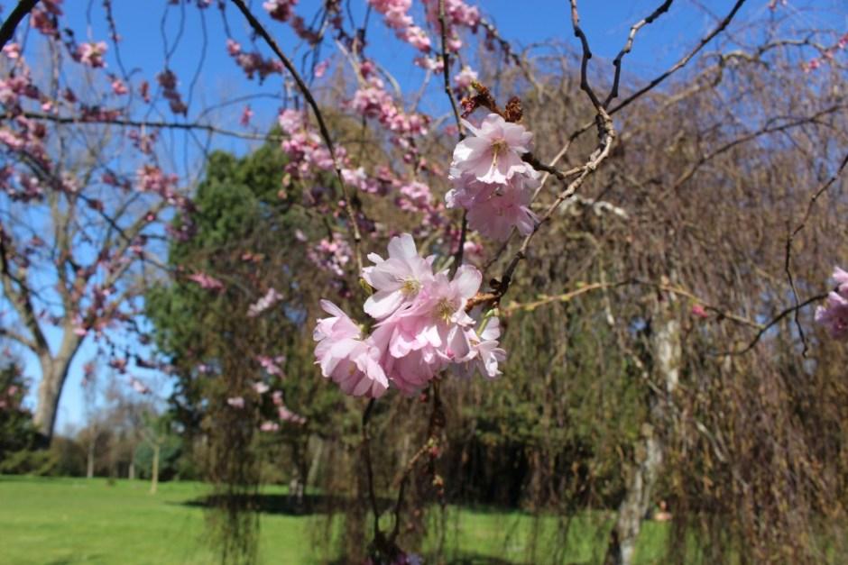 활짝 핀 벚꽃의 모습(사진:조혜림)