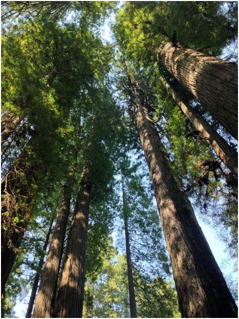 What the Redwoods taught me: I am no less loved, nurtured, and protected than the mighty Redwoods.