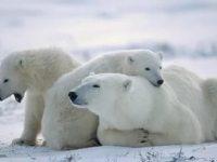 Экологический календарь День белого медведя