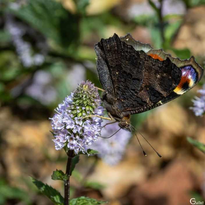 Papillon Paon-du-jour