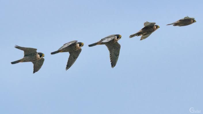 Crozon : Vole du faucon pèlerin