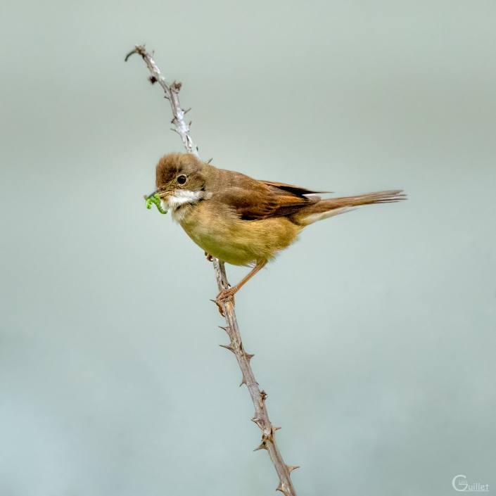 crozon : petit oiseau