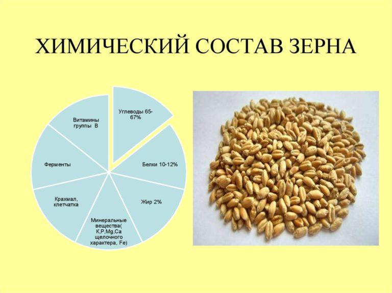 žiemkenčiai ir hipertenzija)