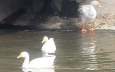 buddha-ducks