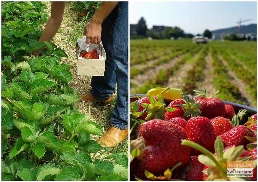 Photo of Strawberry picking 2