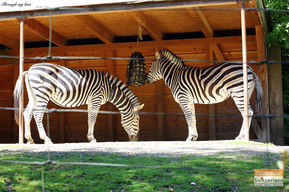Black & White Beauty - Zebras