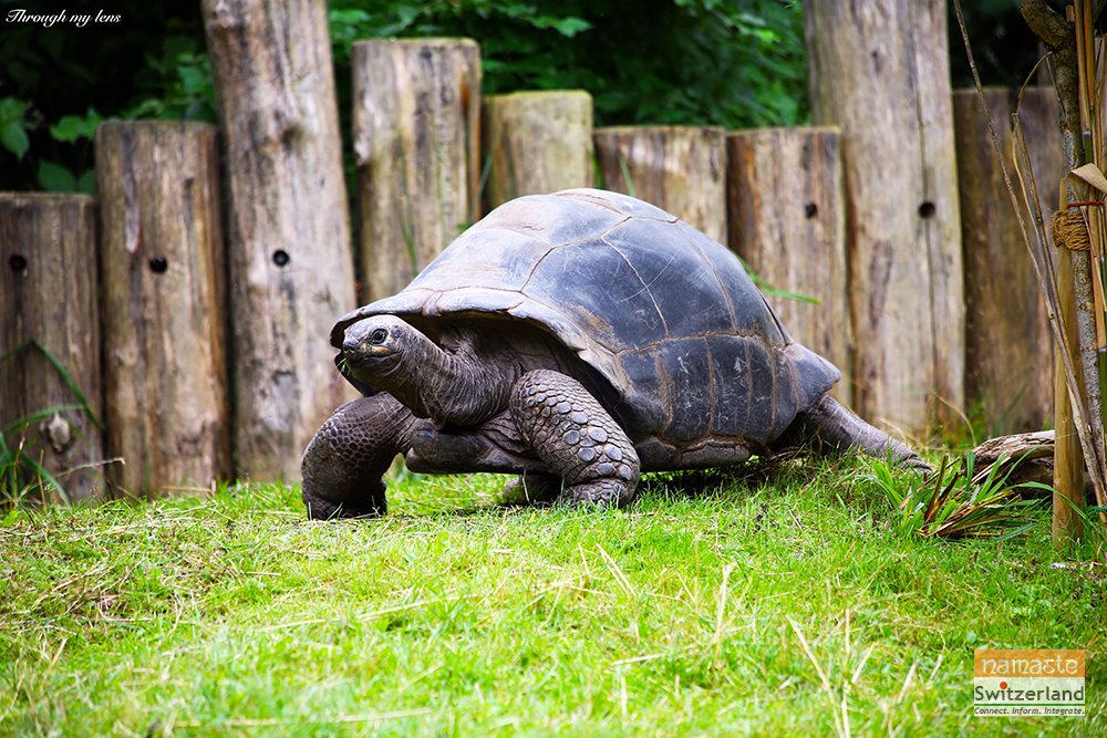 Slow & steady - The Giant Tortoise