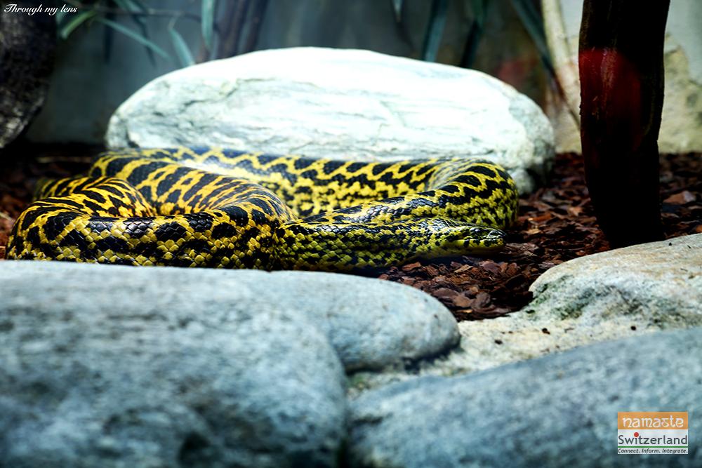 Photo of the Giant Python
