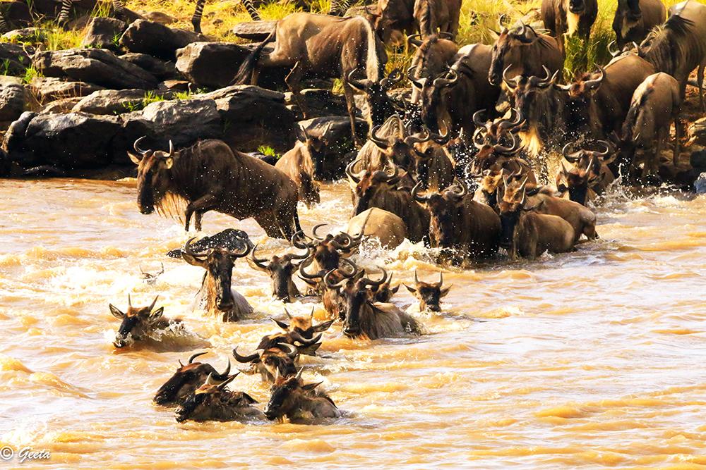 Photo of Wild-beast migration