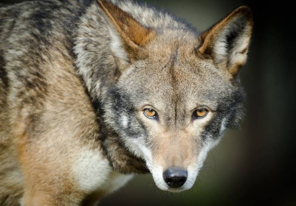 Red Wolves-005
