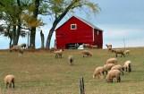 Sheep Grazing - Near Whitewater, Wisconsin