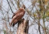 Red-tailed Hawk - Menominee Nation near Shwano, Wisconsin