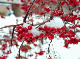 Red Berries in Snow - Fairhaven Senior Services in Whitewater, Wisconsin
