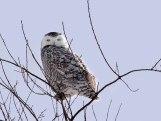 Great Snowy Owl - Scharine Road near Whitewater, Wisconsin