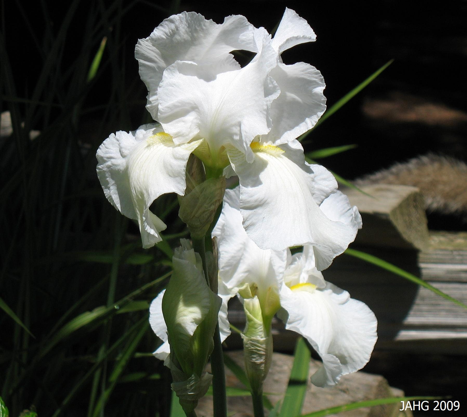 This Pure White Iris x germanica Shows Off It's Yellow Beard.