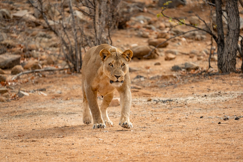 lioness charging NLT vehicle