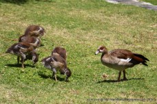 The Egyptian geese - they have five little ones at the moment