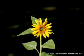 This is our very first sunflower