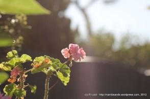 Pale pink Geraniums