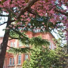 満開の八重桜 この年は5月23日だった
