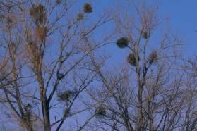 公園内はこの季節、寄生木がくっきりと浮かび上がる。