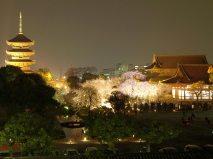 京都・東寺の桜