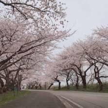 道路に沿って桜のトンネルができる。