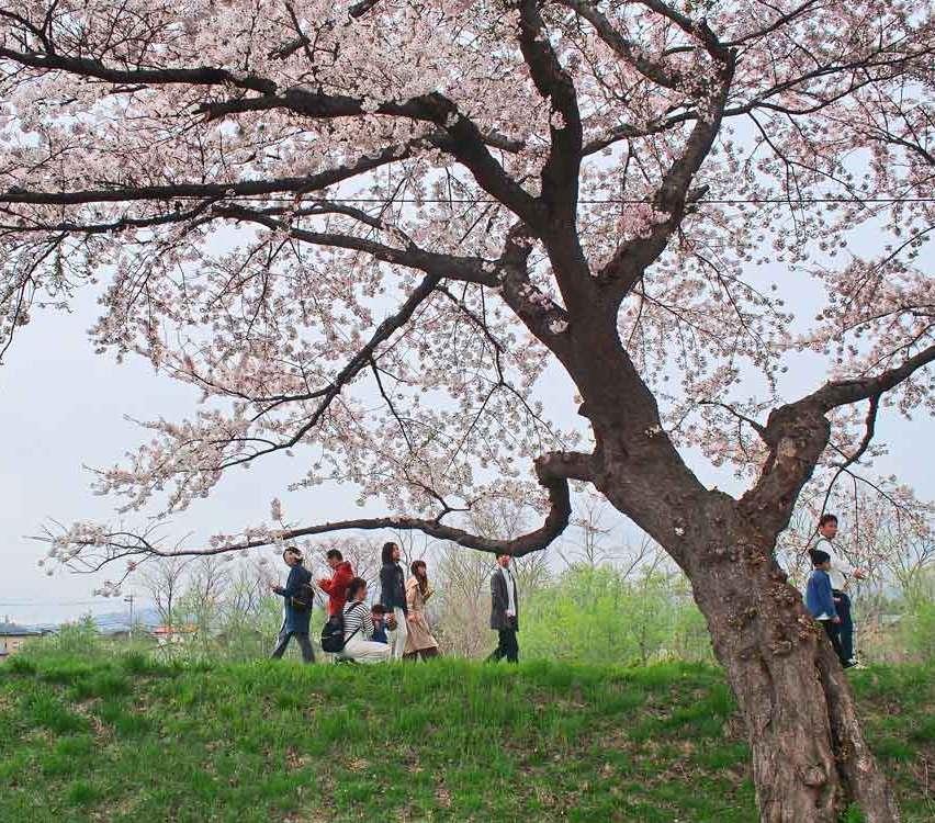 大野川沿いの桜