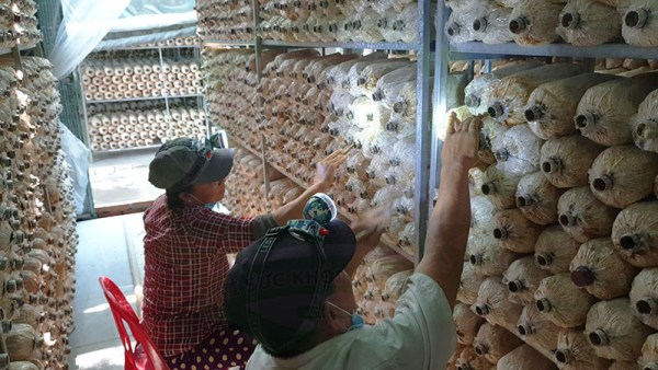 kỹ thuật trồng nấm bào ngư