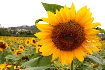 【苗栗通霄景點】向日葵花田。苗栗冬日最美風景,出現了上萬株的向日葵,台一線上向日葵爆炸開。免費景點