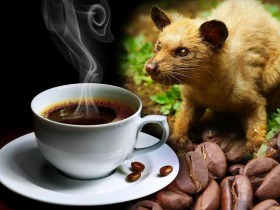 Kopi Luwak, the most expensive coffee made from a cat poop