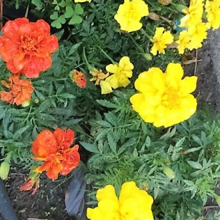 marigolds-after-rain