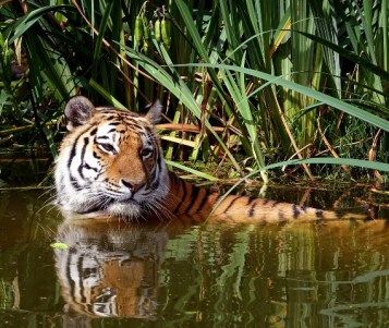 tiger in water 2