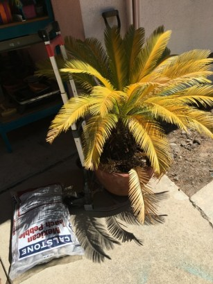 yellow sago palm