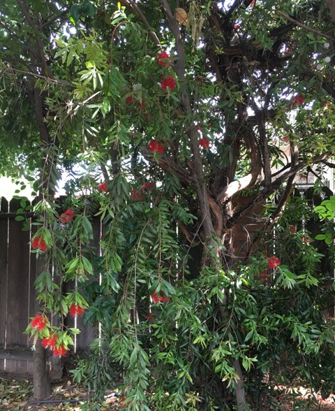 bottle brush tree