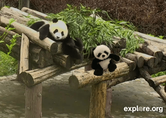 Panda with panda on cam 1