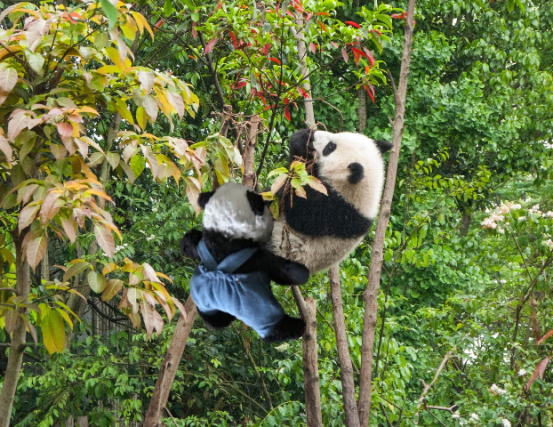 saving panda closer b