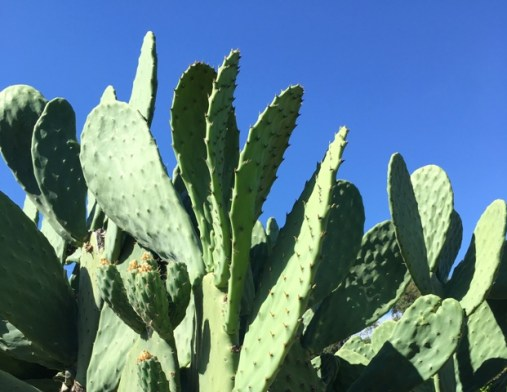 nopales and sky