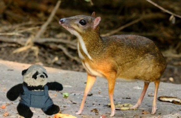a panda with Chevrotain