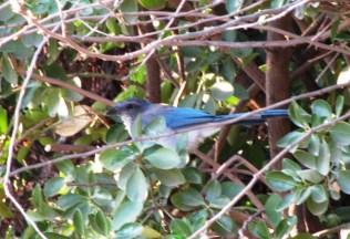 blue bird 3