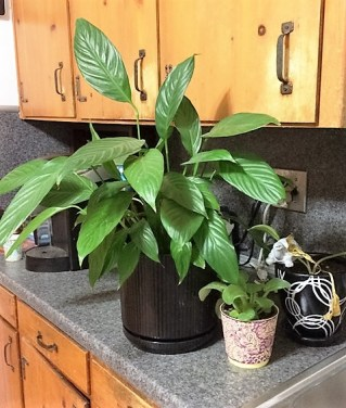 plants-on-counter