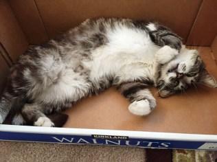 tom cat white tummy