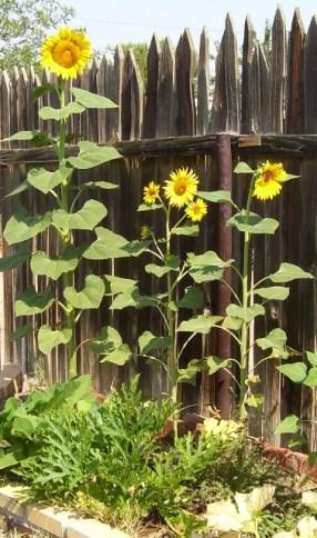 Daddy's sunflowers 2
