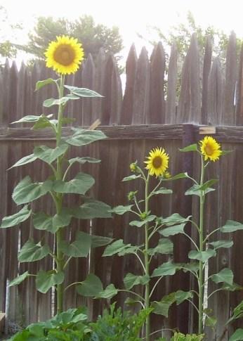 Daddy's sunflowers