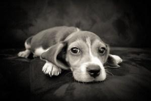 疲れた子犬のビーグル