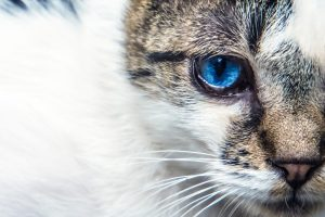 青い猫の眼